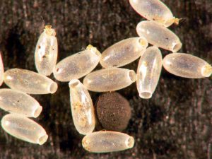 11a-bed-bug-eggs