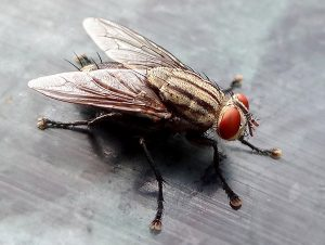 Closeup_of_House_fly