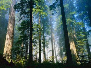 Siberian Cedars