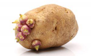 germinatingpotato